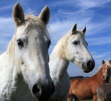 White Camargue Horses by aidan  moran
