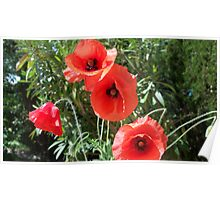 Bright poppies Poster