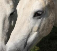Camargue Horses Sticker