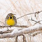 Western Meadowlark in snow by Modified