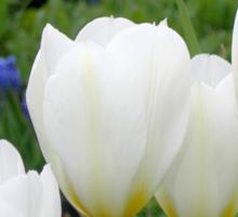 Four White Tulips Sticker