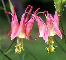 red columbine by mikrin