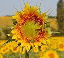 Sunflower & Grasshopper by Catherine Beldon