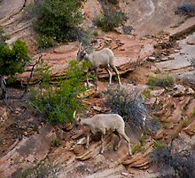 Big Horn Sheep in Zion by gatorjack