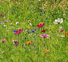 Wildflowers by Catherine Beldon