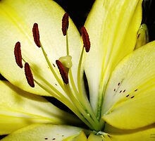 Yellow Lily by George Lenz