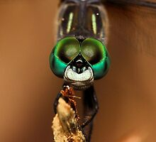 Pachydiplax longipenis (Blue Dasher dragonfly) by Dennis Jones - CameraView