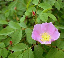 Wild Rose by Gregory Ewanowich