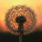 Dandelion Sunset by Angela Harburn