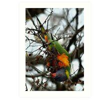 Rainbow Lorikeet - Gawler St, Mt Barker Art Print