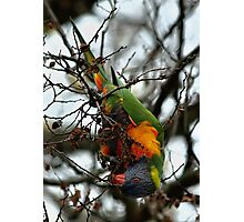 Rainbow Lorikeet - Gawler St, Mt Barker Photographic Print