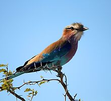Lilac Breasted Roller by Jennifer Sumpton