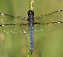 Blue Dragonfly by Gregg Williams