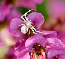 Pink and White Crab Spider by Geoffrey