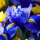 Iris and Gerbera  by Jaxybelle
