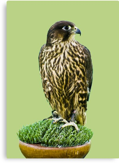 Falcon by Richard Hamilton-Veal