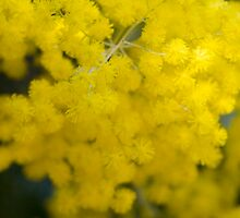 Wattles by Philip Cannon
