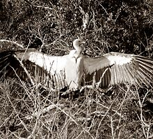 The Safari Series - 'Vulture' by Paige