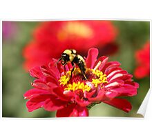 Bumble Bee Gathering Nectar Poster