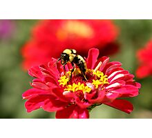 Bumble Bee Gathering Nectar Photographic Print