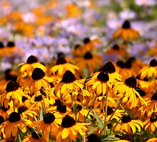 Yellow Cone Flowers in a Field by DARRIN ALDRIDGE