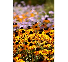 Yellow Cone Flowers in a Field Photographic Print
