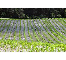 New Crops Photographic Print