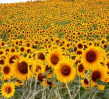 Smiling sunflowers by Helen White