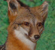 Gray Fox by Dennis Rubin IPA