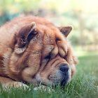 Sunbathing chow dog by TOM KLAUSZ