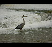 Heron by greyrose