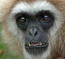 "Lar Gibbon ""huh?"" by Yampimon"