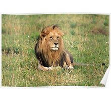 Male Lion On The Masai Mara  Poster