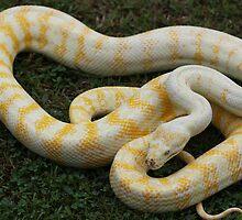 Darwin Python - Albino by Steve Bullock