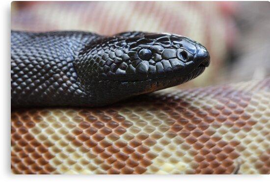 Black Headed Python - QLD form by Steve Bullock