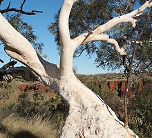 Snappy Gum, Karijini by Blue Gum Pictures