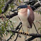 Rufous Night Heron by Blue Gum Pictures
