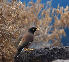 Common Myna by weirdoodle