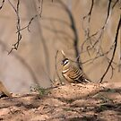 Spinifex Pigeons by Blue Gum Pictures