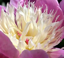 It's Peony time by naturalimages