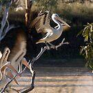 Australian Pelicans, Cullyamurra Waterhole by Blue Gum Pictures