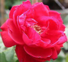 Full Bloom by AngelaBishop