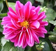 Hot Pink Dahlia by AngelaBishop