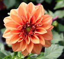 Soft Peach Dahlia by AngelaBishop