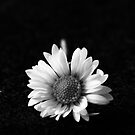 Black and White Daisy by Ann Heffron