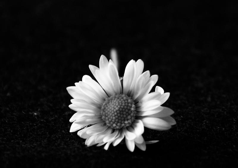 Black and White Daisy by Ann Heffron