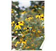 Black Eyed Susan Flowers Poster