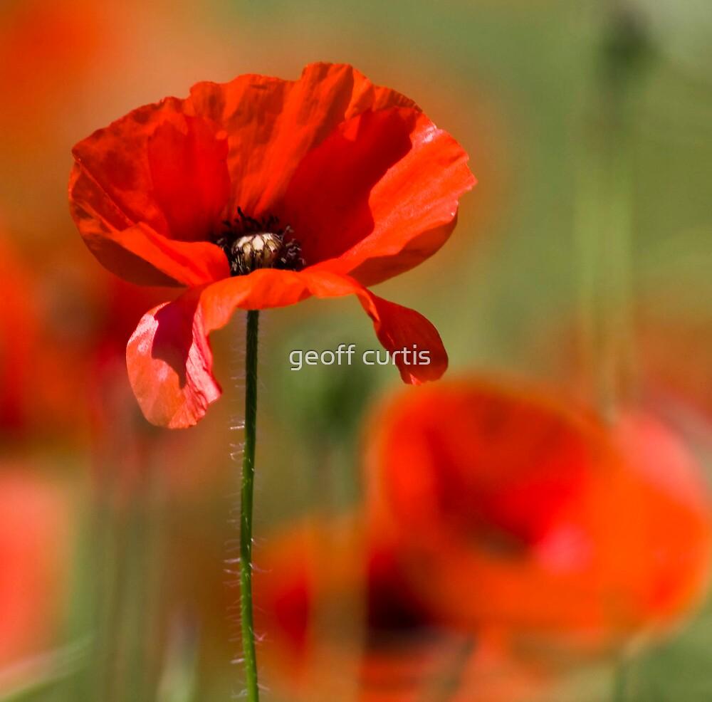 Poppy Haze by geoff curtis