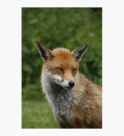 Sly old fox Photographic Print