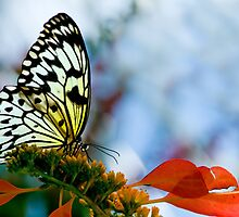 Rice Paper Butterfly Profile by Bonnie T.  Barry